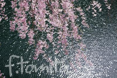 B湖畔の枝垂れ桜.jpg