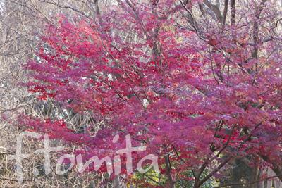 冬紅葉1.jpg