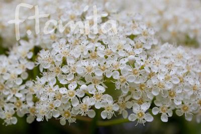 Bオオカナメモチの花.jpg