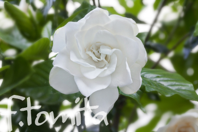 Bクチナシの花.jpg