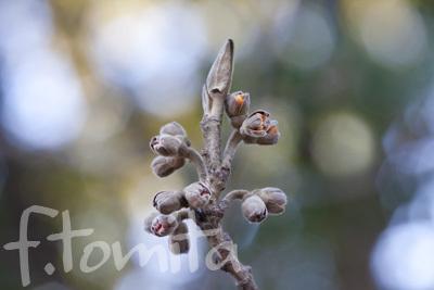 Bシナマンサクの花芽.jpg