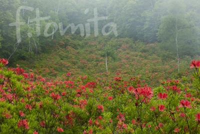 Bツツジの咲く風景.jpg