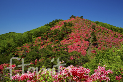 B徳仙丈山の山ツツジ3.jpg