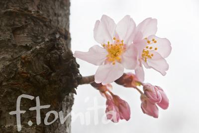 B東海桜1.jpg