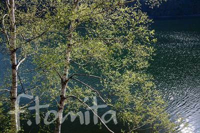 B湖畔の白樺.jpg