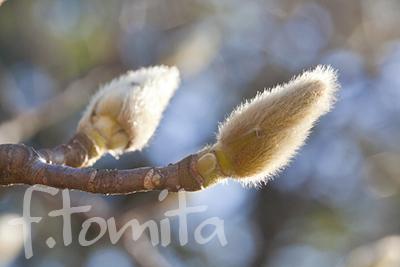 B2コブシの花芽.jpg