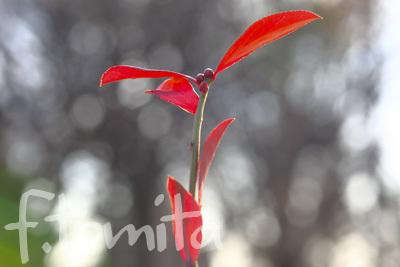 B2赤い葉.jpg
