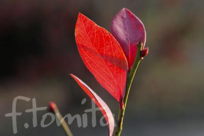 B3赤い葉1.jpg