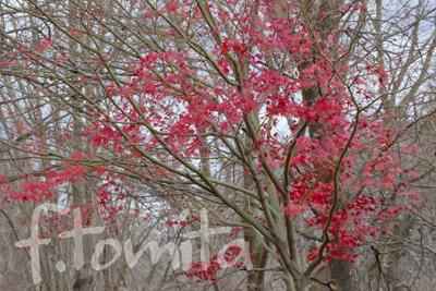 冬紅葉.jpg