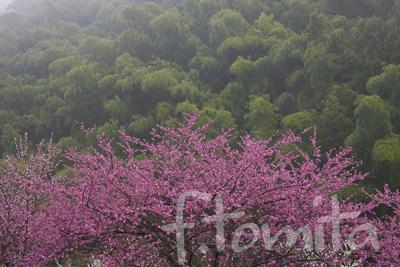 雨の夕暮れ、紅梅と竹林・.jpg