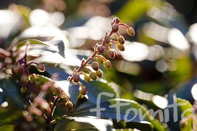 Bアセビの花芽1.jpg