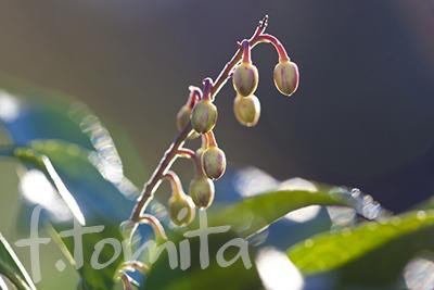 Bアセビの花芽2.jpg