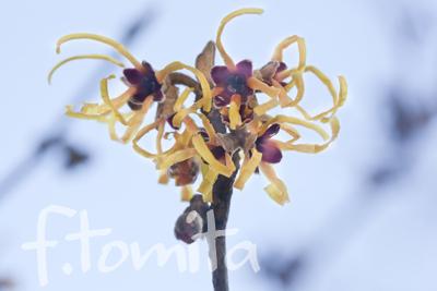 Bシナマンサクの花.jpg