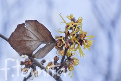 Bシナマンサクの花1.jpg