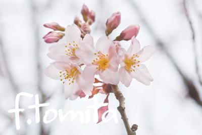 B東海桜.jpg